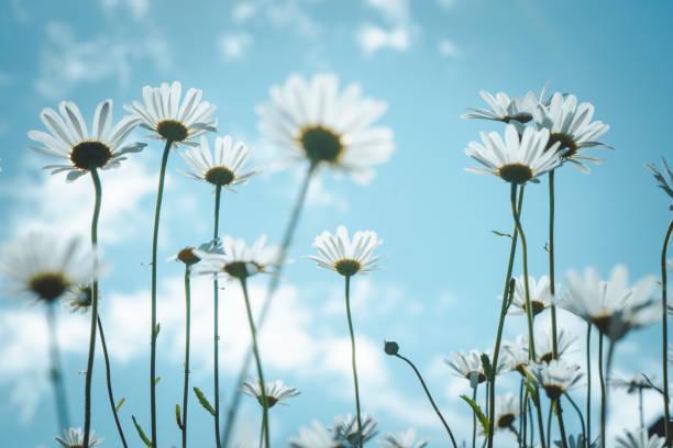 Daisy in sunlight, Nikko, J...