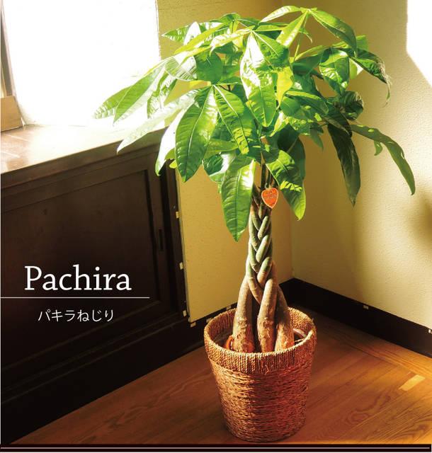 パキラ鉢植え7号鉢