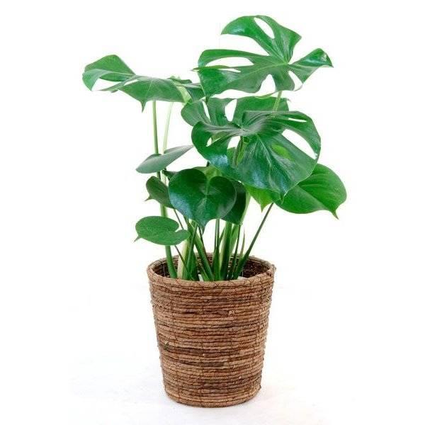 観葉植物 人気のモンステラ 6号 鉢カバー セット