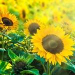 9月の花 「ひまわり」